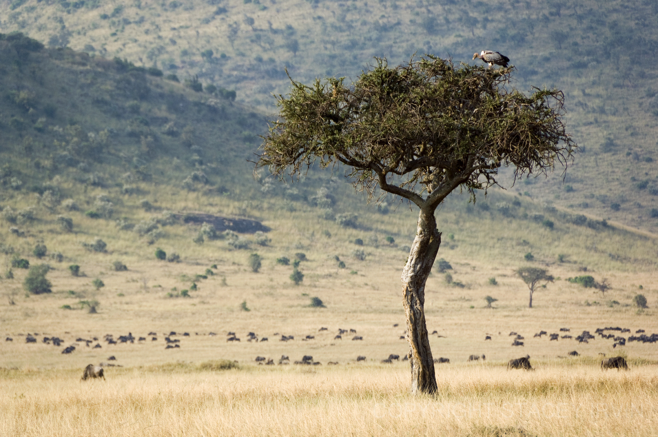 Vulture and Wildebeests