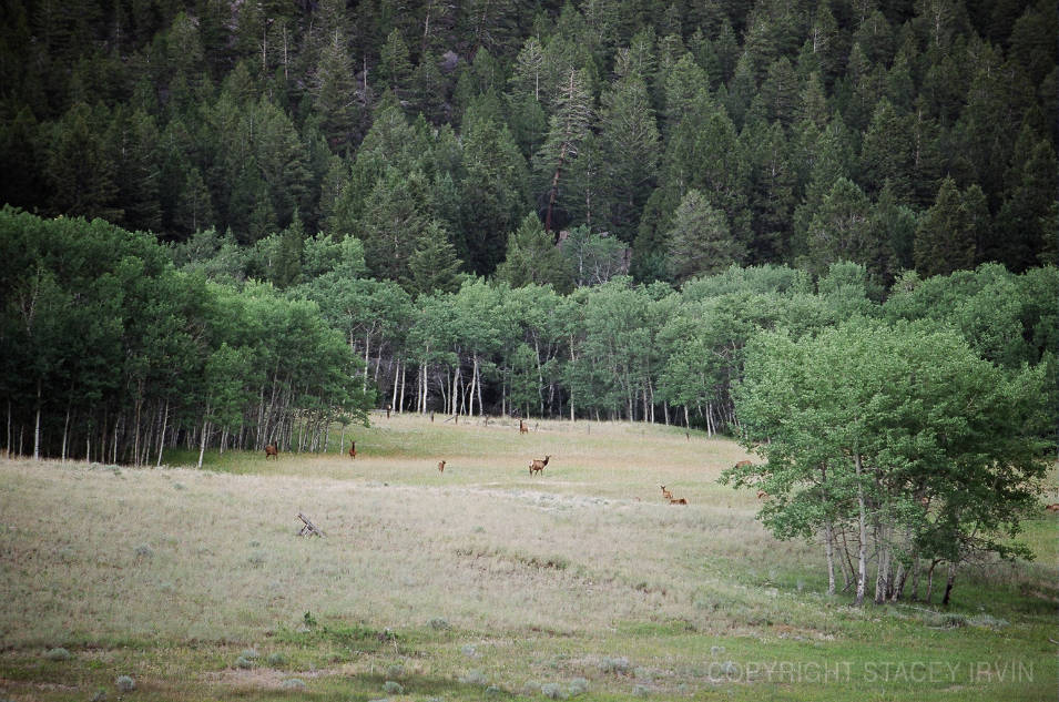 The Elk Herd Scatters